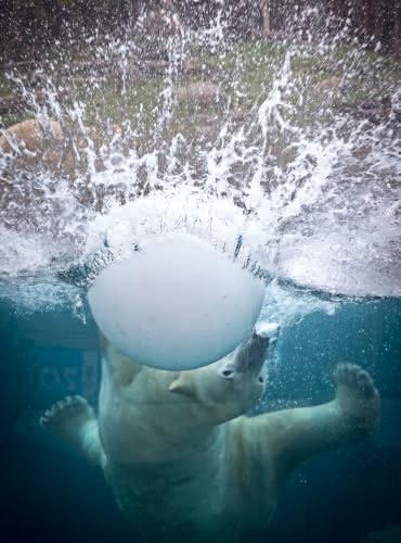 Ours blanc - Parc Botanique et Zoologique de Mulhouse