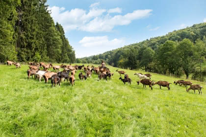 Visite de la chèvrerie du Windstein, Alsace